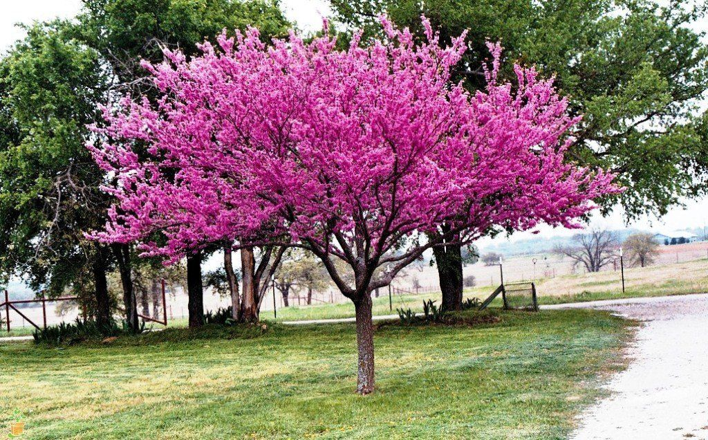 The Low Maintenance Eastern Redbud Tree Is Perfect For All Landscapes Small Or Large This A Flowering With Bright Purple Flowers In Spring