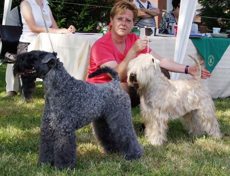 Kerry Blue Terrier Vs Wheaten Terrier Kerry Blue Terrier