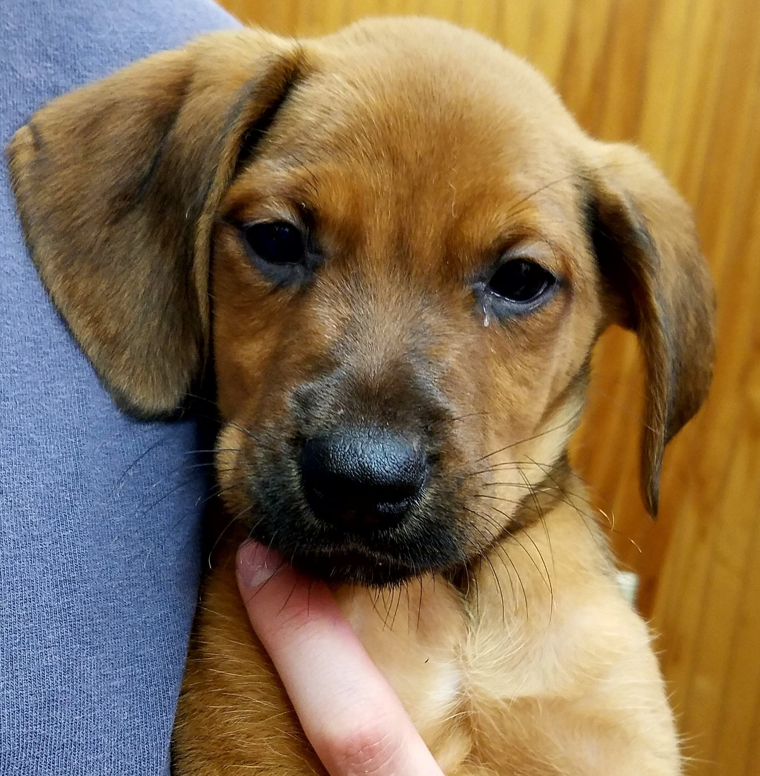 Adopt Handsome Hank On Redbone Coonhound American Bulldog Mix