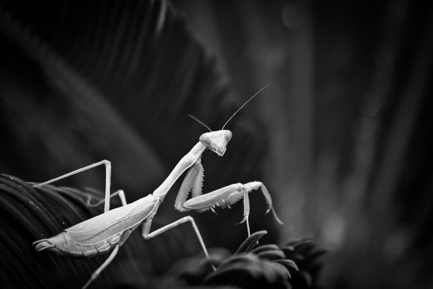 Black praying mantis