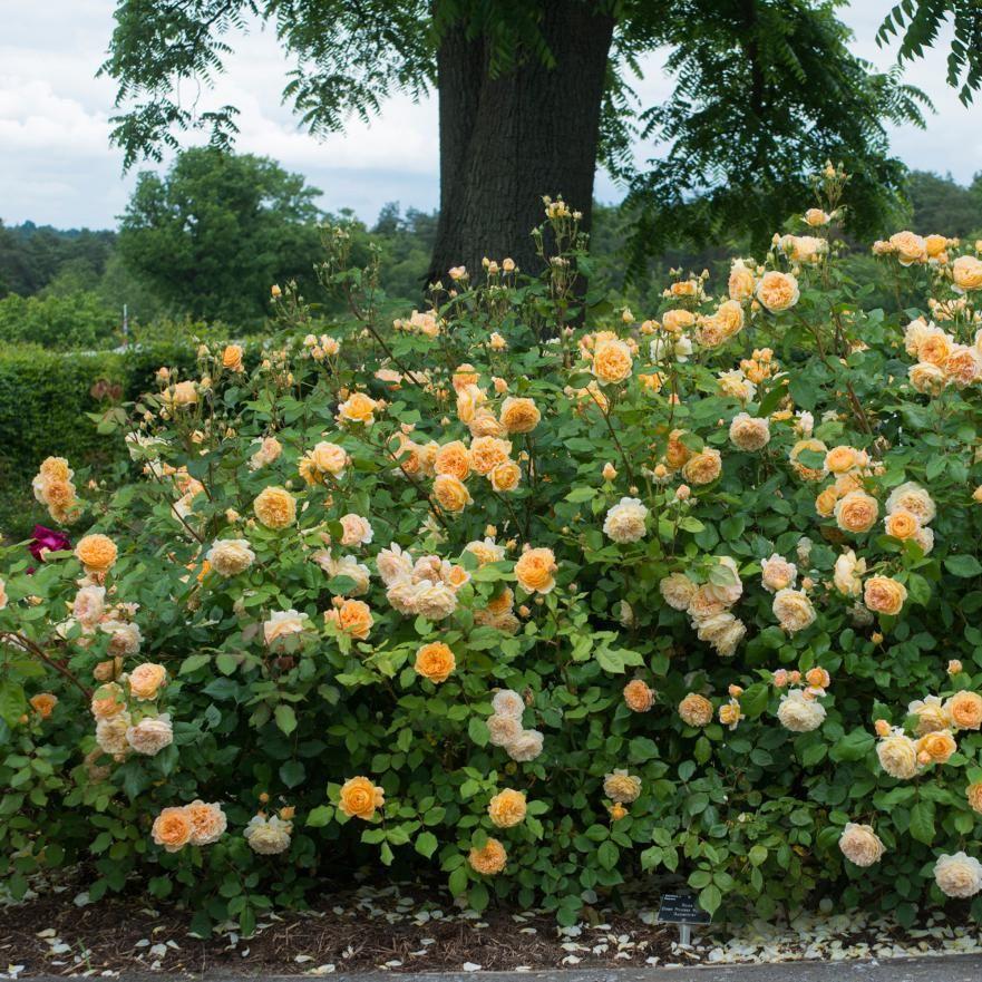 David Austin Rose Crown Princess Margareta Highly fragrant