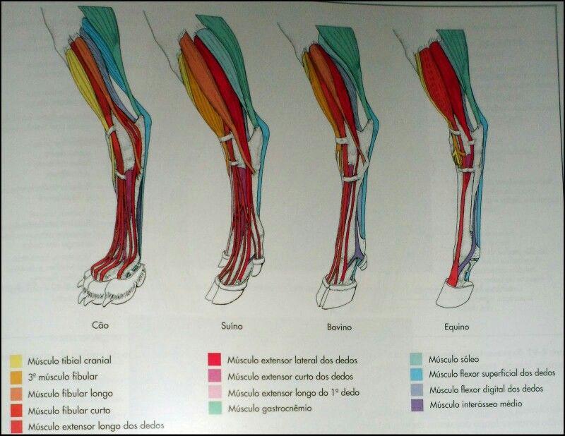 Anatomia Veterinária | VETERINARIA | Pinterest | Anatomía, Medicina ...