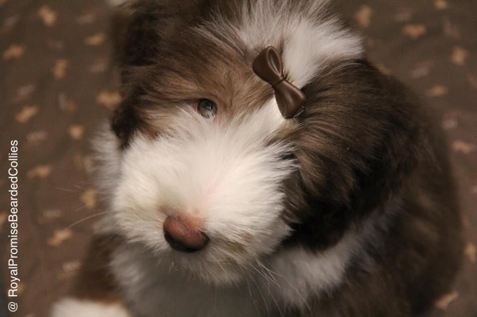 Bearded Collie No Nonsense S Little Youp Royal Promise