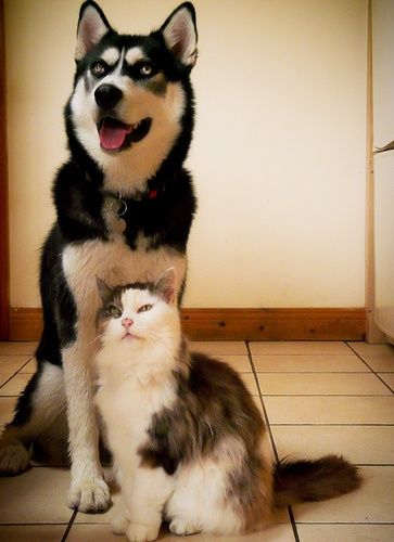 Not Kita But Temperament And Personality Of Siberian Husky Click
