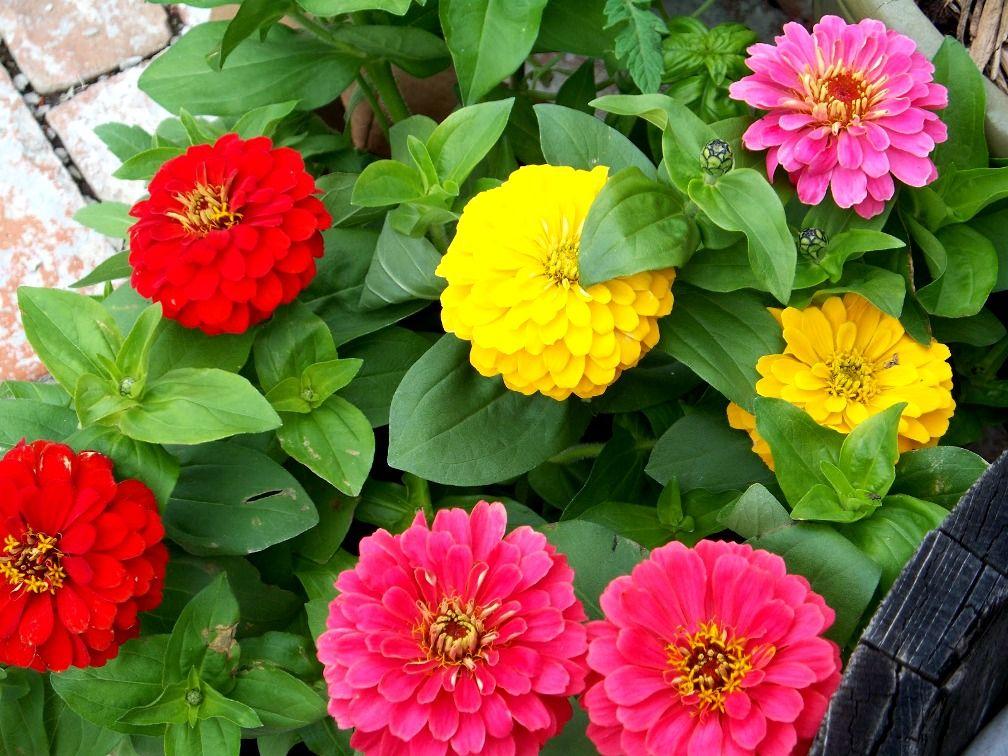 Gambar Bunga Dahlia Bermacam Macam Warna Dahlia Plants Outdoor