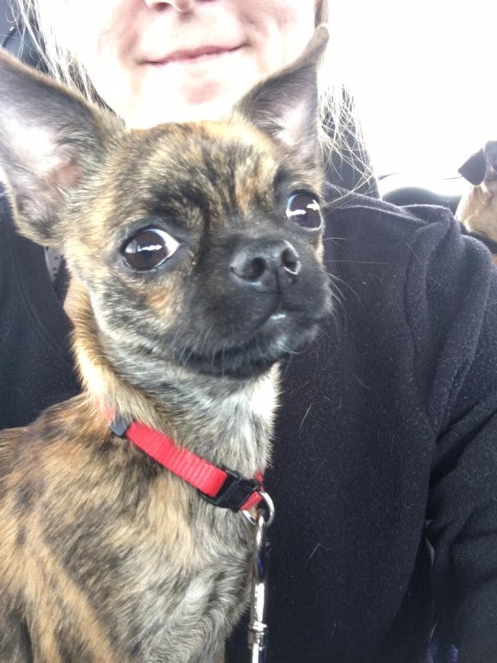Chihuahua Pug Mix Adoption Pug Mix Chihuahua Chihuahua Dogs