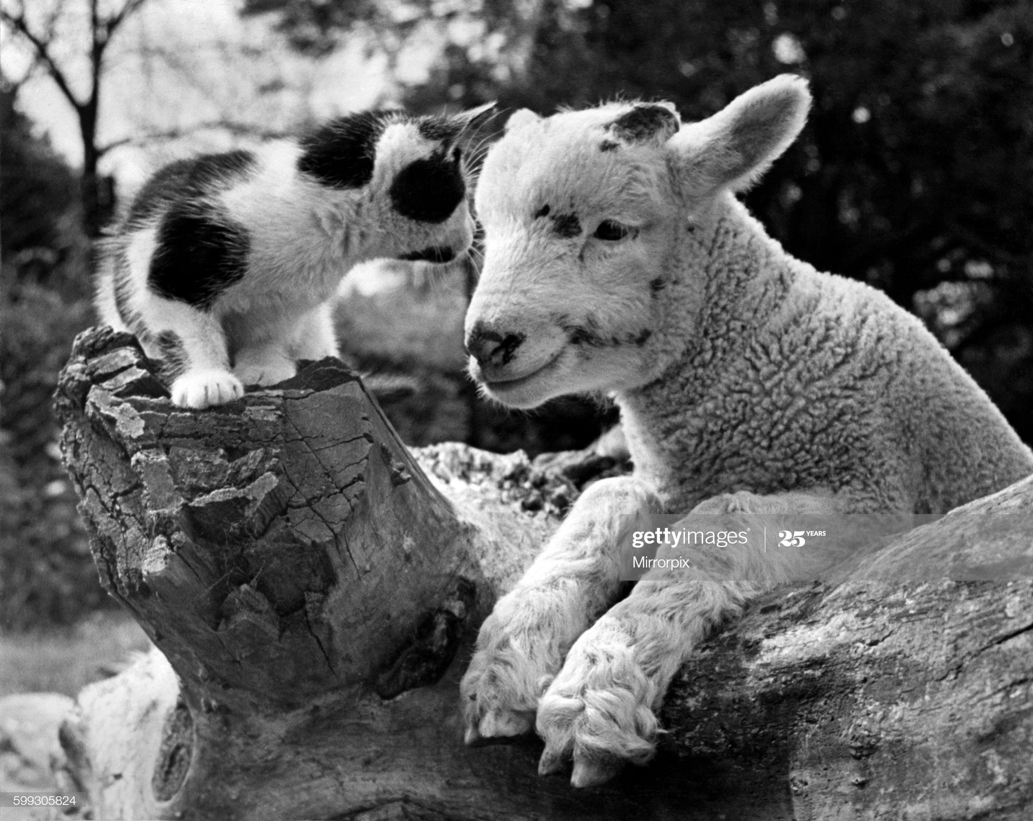 Animals Kitten And Lamb At Chessington Zoo September 1948 P000748 In 2020 With Images Chessington Zoo Kittens Animals