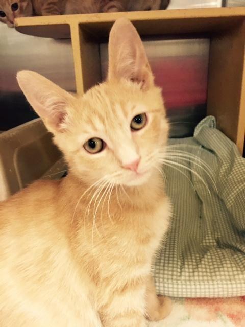 Adopt Travis Moorestown Petsmart On Petfinder In 2020 Pet Adoption Center Tabby Cat Petsmart