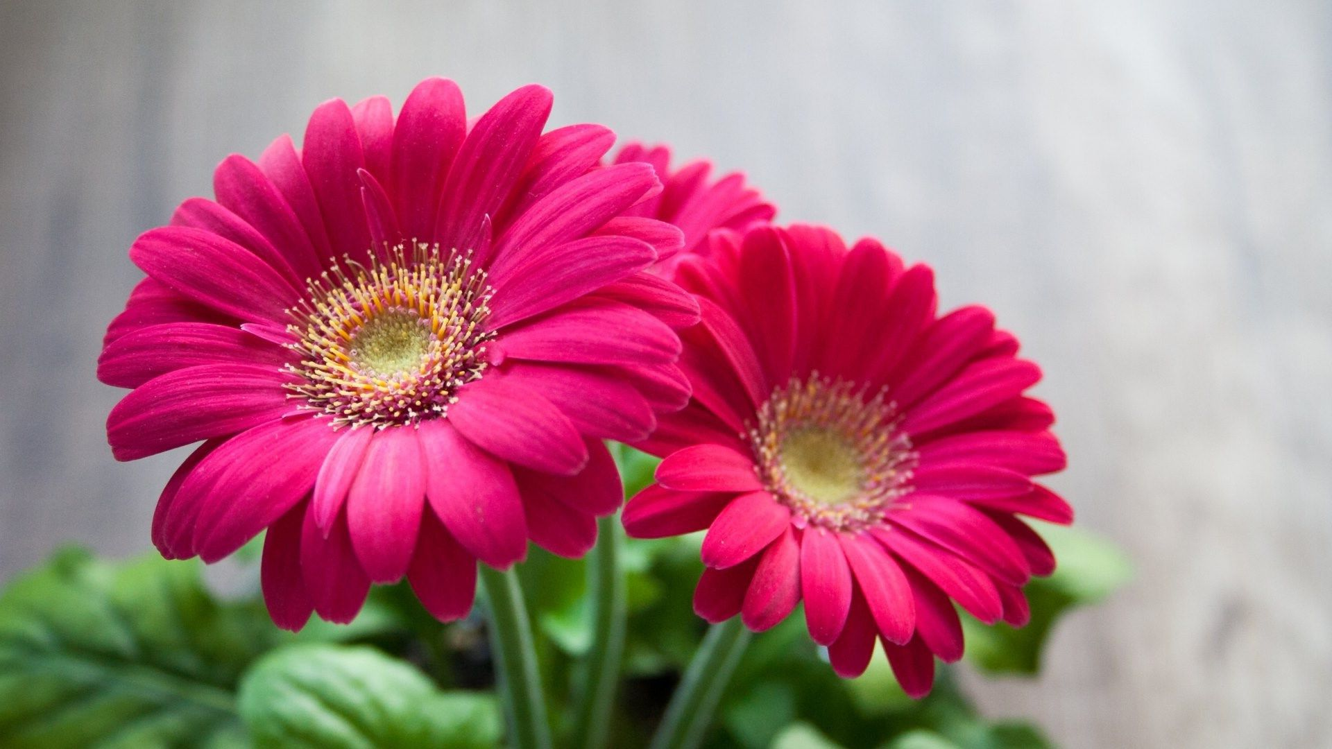 Best HD Wallpapers for Laptop 1080p with Pink Daisy Flower