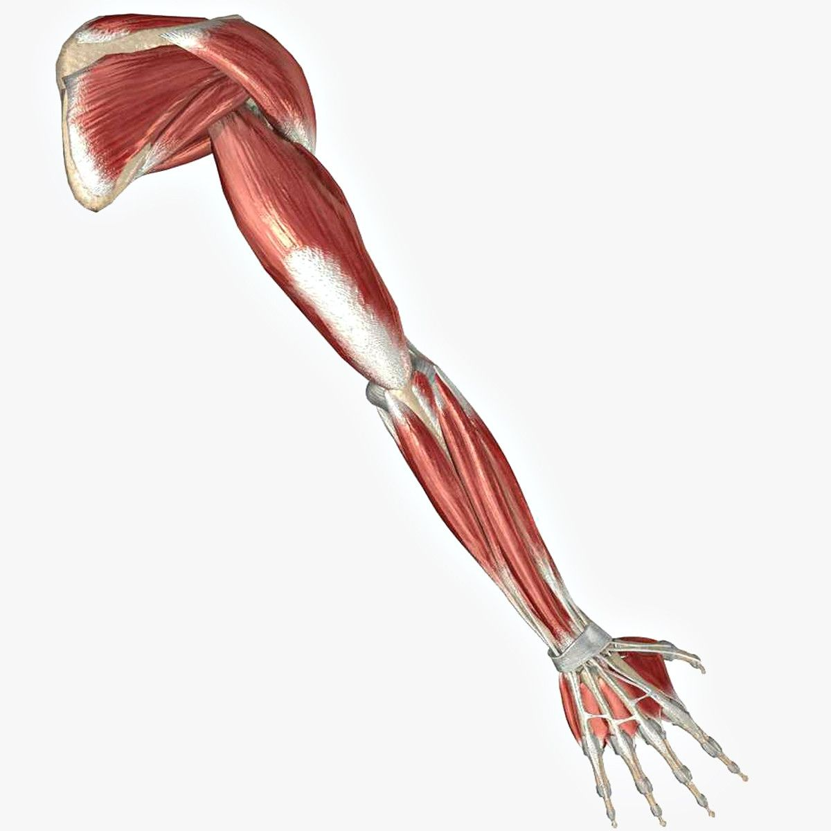 Arm Muscle And Bone 3d Ma Muscle Arm Medical Edition Undead