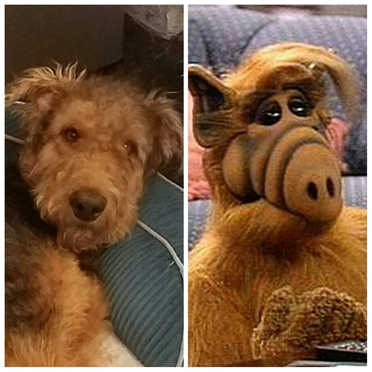Alf Quotes Looks Like Alf Airedale Terrier  Airedale Terrier  Pinterest