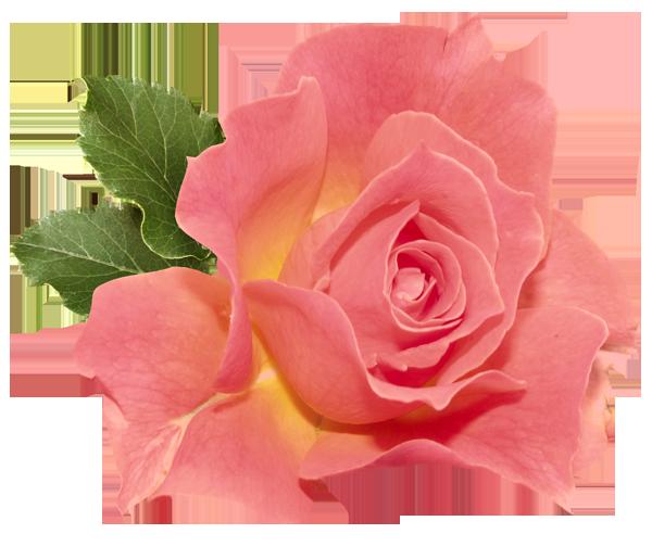 Orange Rose Png Clipart Flower Art Botanical Flowers Flower Images