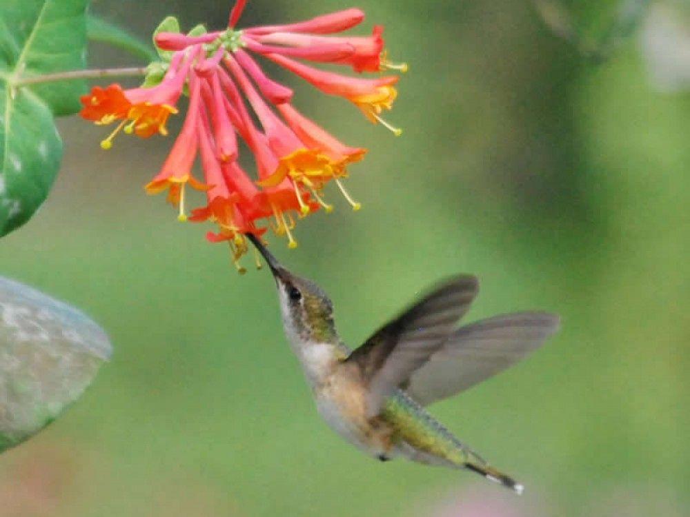 Trumpet Honeysuckle in 2020 Hummingbird nectar