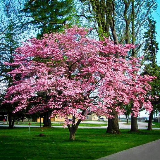 Flowering Pink Dogwood Fast Growing Shade Trees Dogwood Trees Pink Dogwood Tree
