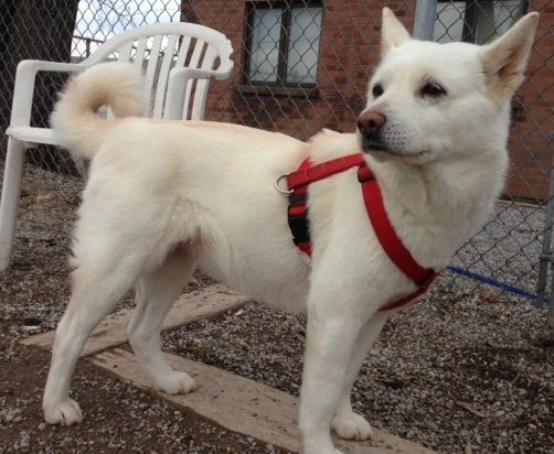This Is Cho Long She Is A 10 Year Old Spayed Female Jindo She Is Shy At First But Loves Attention And Loves To Go For Walks Pet Adoption Dog Adoption Animals