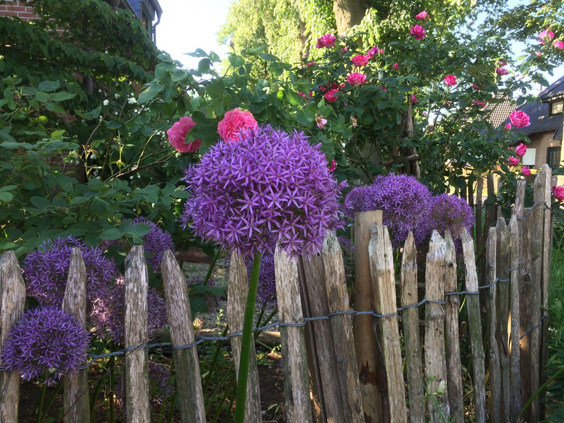 staketenzaun mit rosen und allium im vorgarten | garten | pinterest
