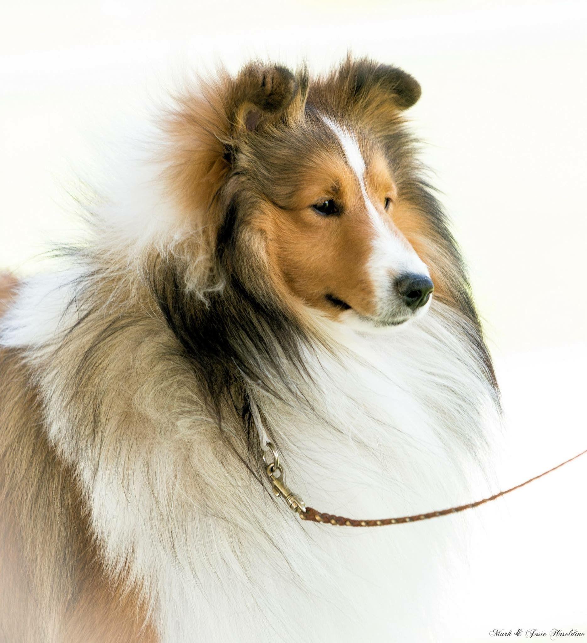 Best In Show Australia Aidan Sheltie Puppy Sheltie Puppies For Sale Sheltie Dogs