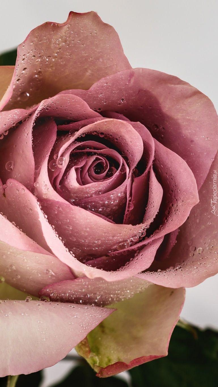 Tapeta Na Telefon Zroszona Roza Dodana Do Kategorii Roza Oraz Do Podkategorii Przyroda Kwiaty Dodana Przez Uzytkownika Malgosia16 Ktory Nal Rose Flowers Iris