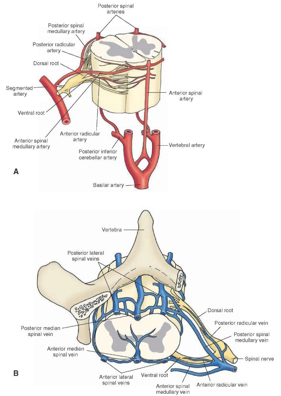 Vascular supply of the spinal cord. (A) Major arteries supplying the ...