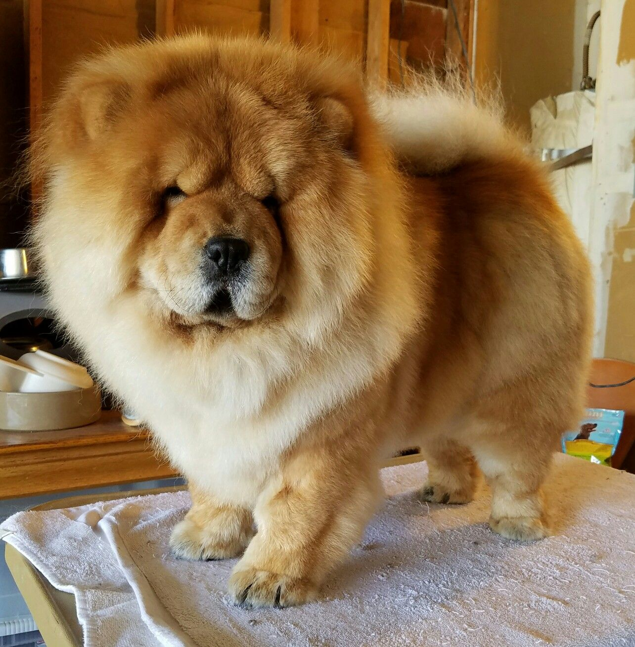 Chow Chow Chow Chow Chinese Dog Cute Baby Animals