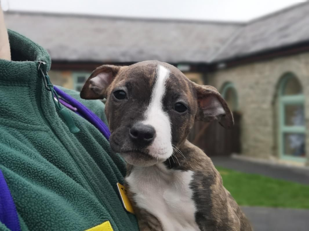 Candycane Is A 10 Week Old American Bulldog Cross She Is A