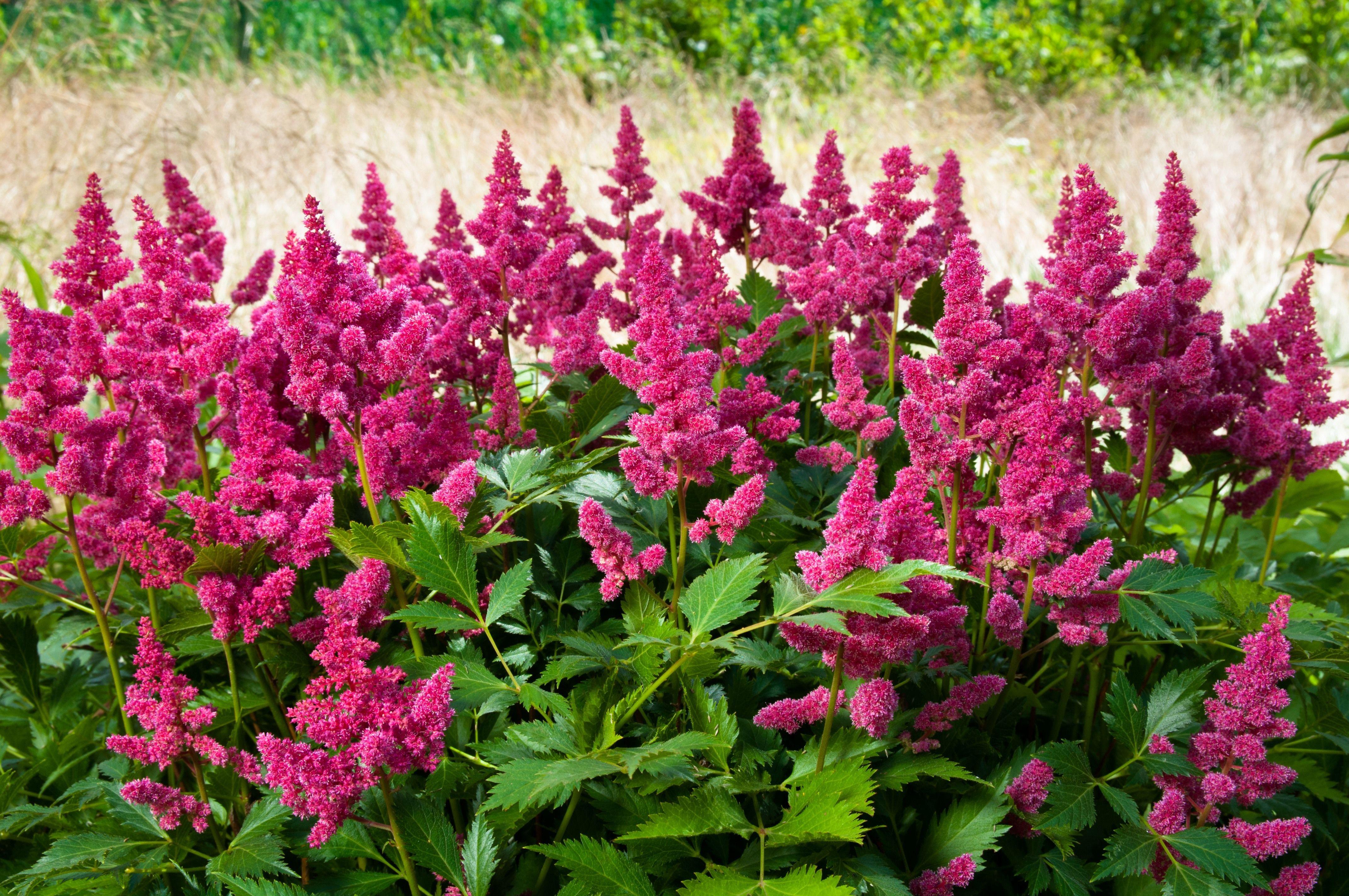 des plantes floraison longue pour un jardin fleuri toute l 39 ann e jardinage de fleurs. Black Bedroom Furniture Sets. Home Design Ideas