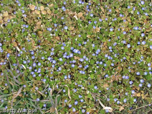 Speedwell With Tiny Purple Flowers Weeds In Lawn
