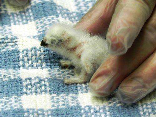 tiny little baby burrowing owl