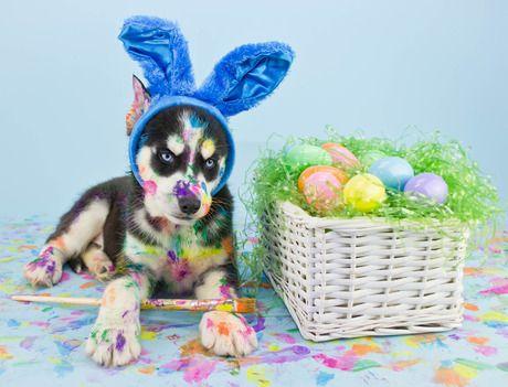 Husky Easter Easter Dog Pictures Easter Dog Easter Pets