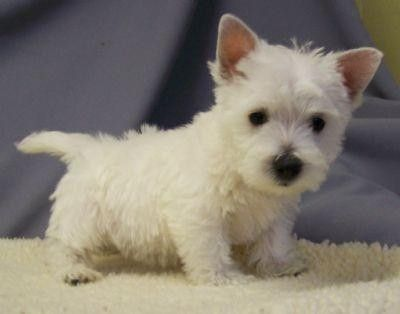 Group Of Toy West Highland White Terrier Puppies For Sale In New