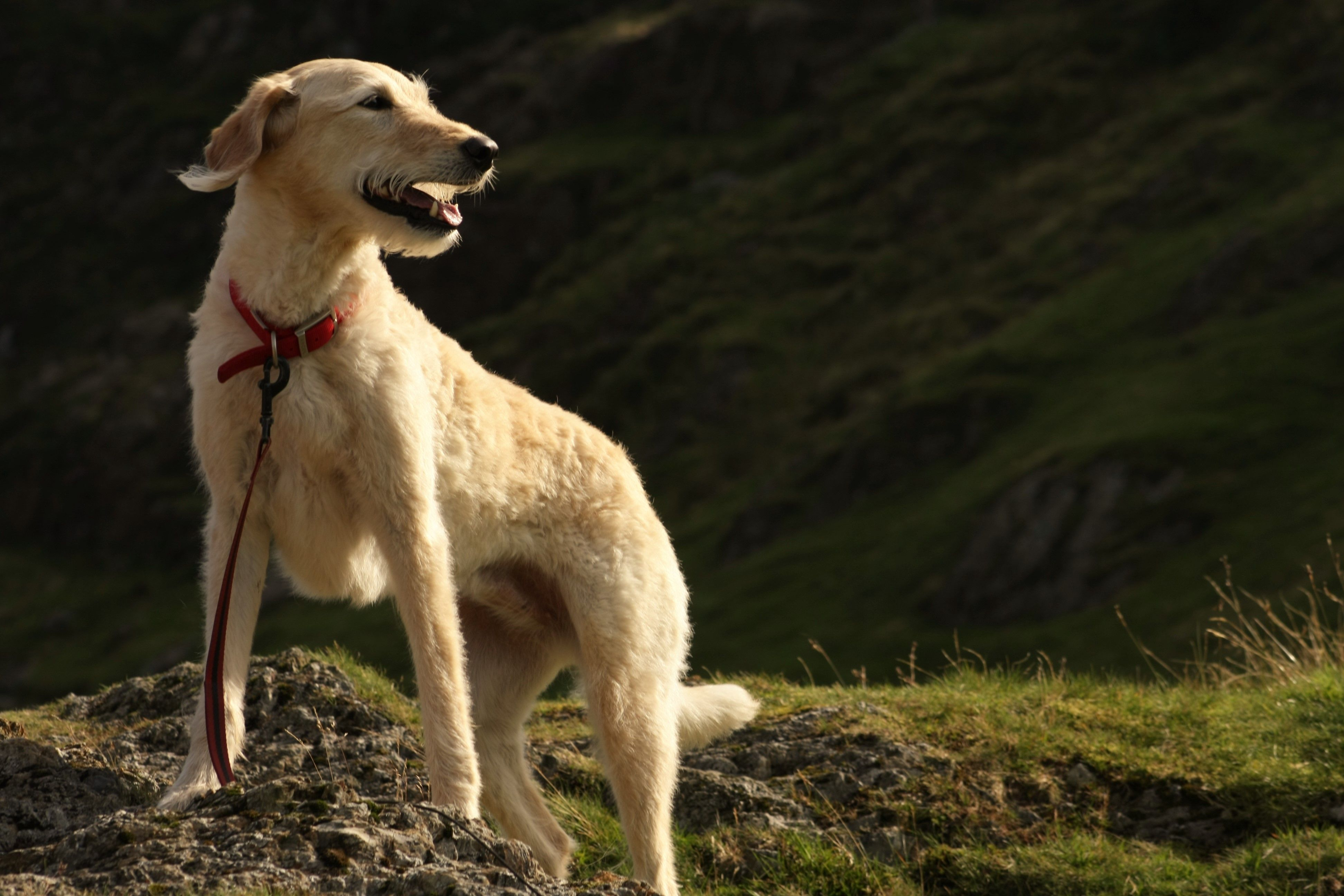 Lizzie in buttermere lakedistrict (f1 labradoodle)