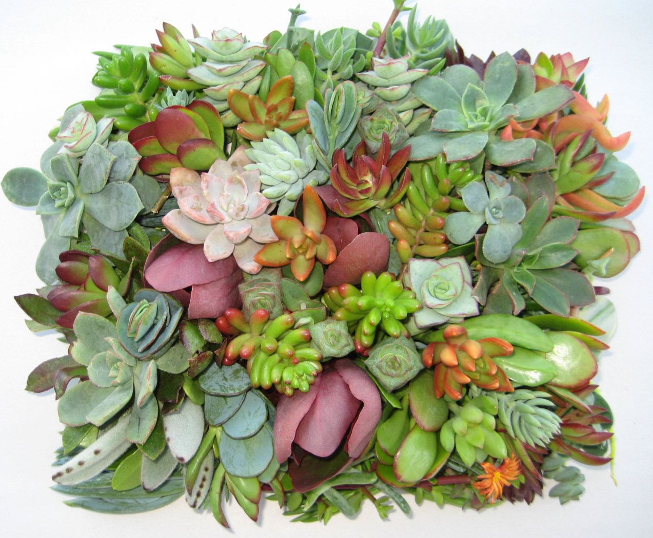 On Sale Succulent Cuttings Succulent Clippings 20 Different 1 5 Large Succulent Clippings Succulent Kit Su Succulent Cuttings Succulents Planting Succulents
