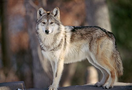 Image result for wolf standing