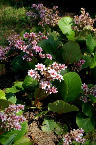 Bergenia Cordifolia Schoenlappersplant Een Vaste Plant Met Dikke Lederachtige Bladeren Planten Tuinieren Shade Garden