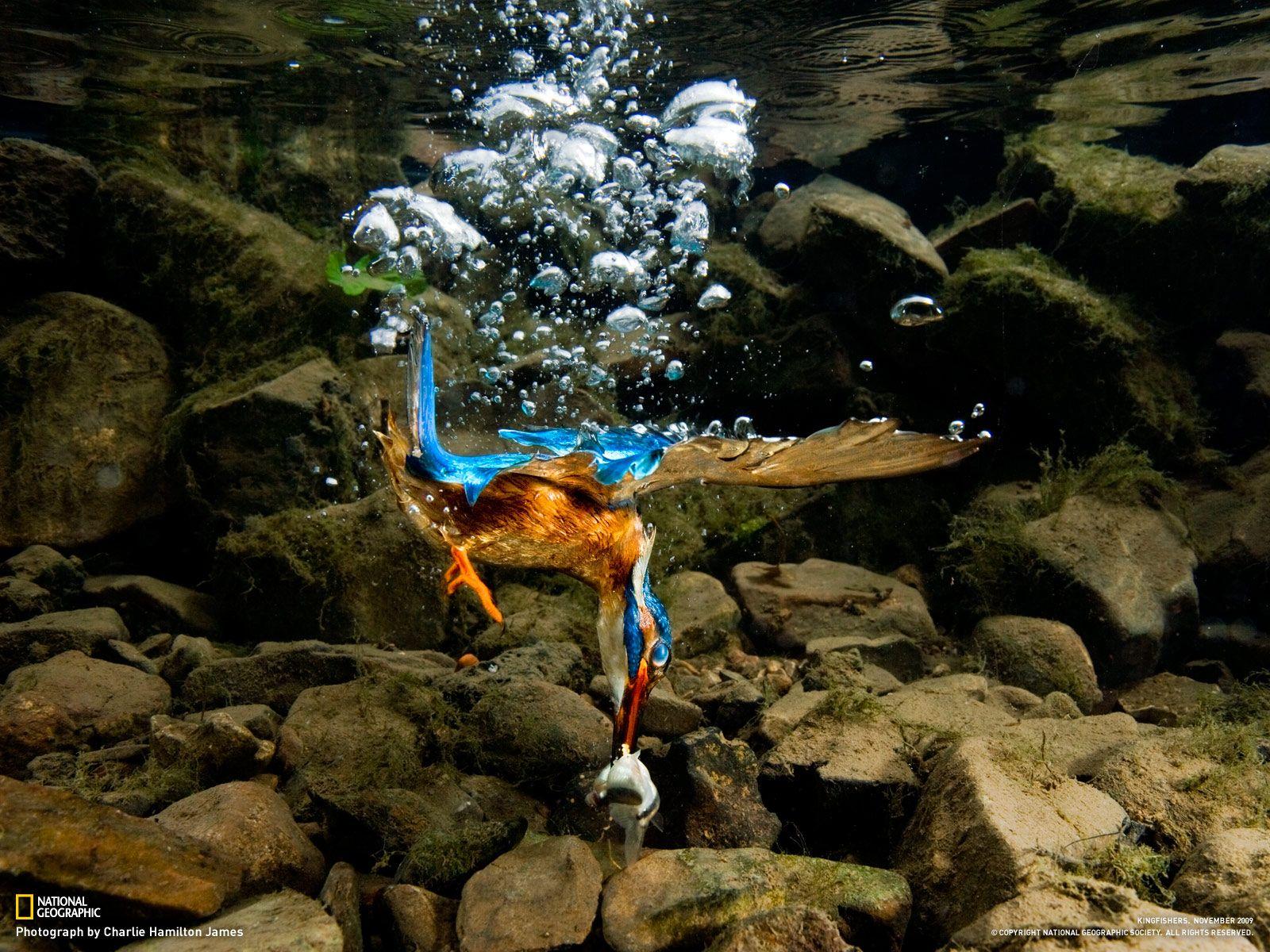 National Geographic Photos Wallpaper 100 Most Famous National Geographic Hd Wallpaper Part 10 Kingfisher Bird Beautiful Birds Kingfisher