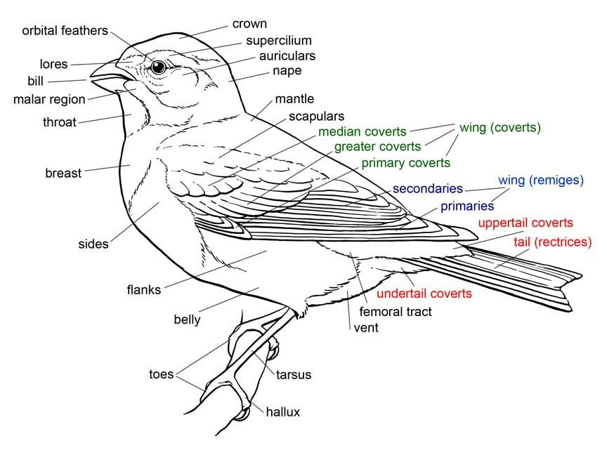 Bird Anatomy Cerca Amb Google Drawing Animals Pinterest