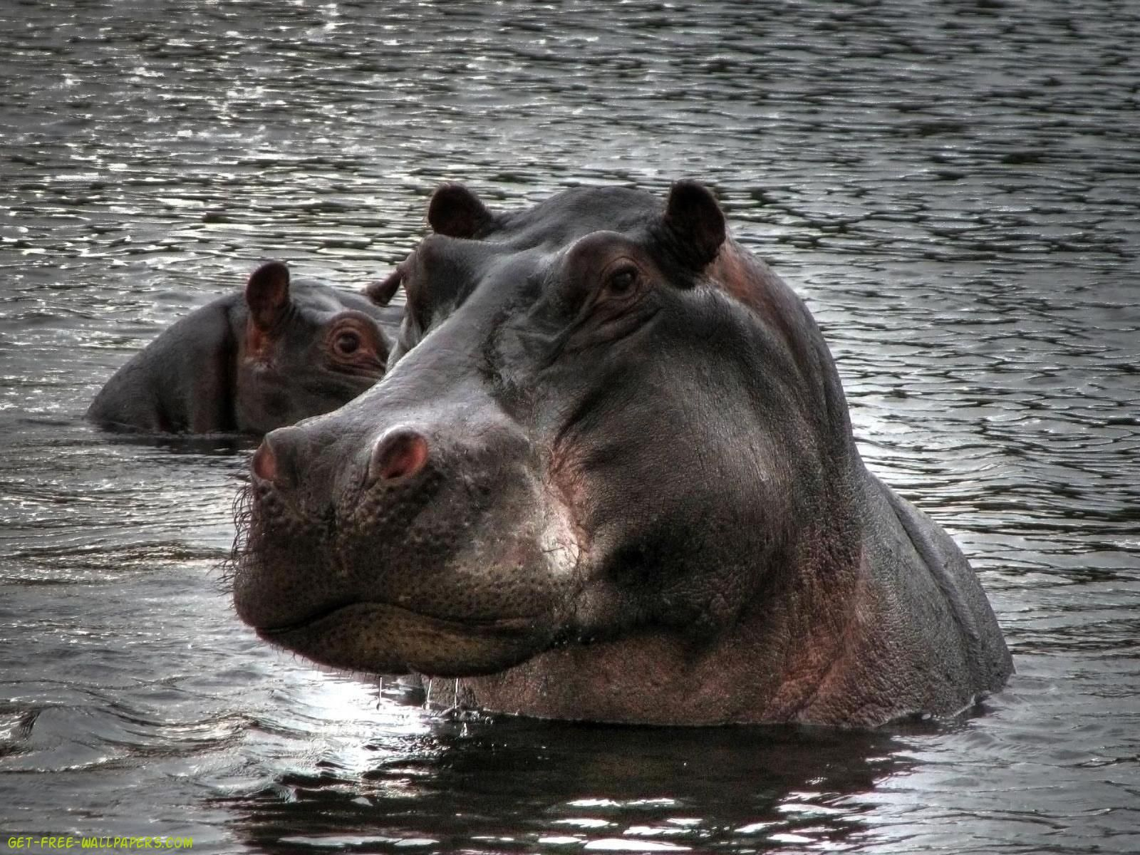 Hippopotamus Download Hippopotamus Wallpaper Hippopotamus Animals Beautiful Animals