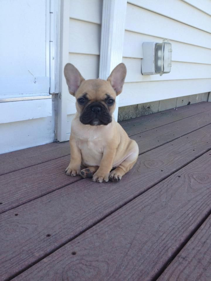 Big Ears For A Little Guy French Bulldog Puppies