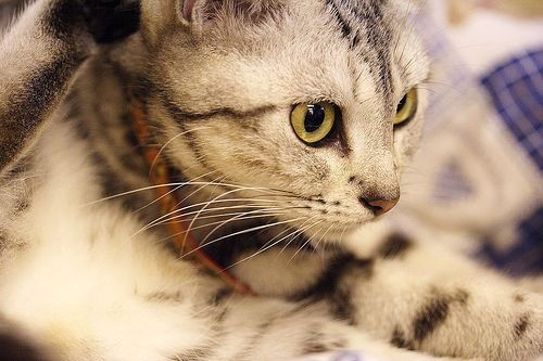 The American Shorthair is the 8th most popular breed of