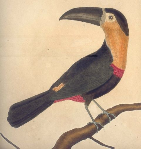 Representação iconográfica do tucano-do-bico-preto na Histoire naturelle des oiseaux, de Georges Louis Leclerc, conde de Buffon.