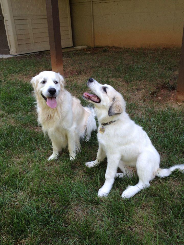 Playing with Hogan. !! Labrador retriever, Great