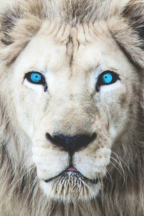 Rare White Lion with Blue Eyes Poster Print Decor Animal Artwork Wall Pictures