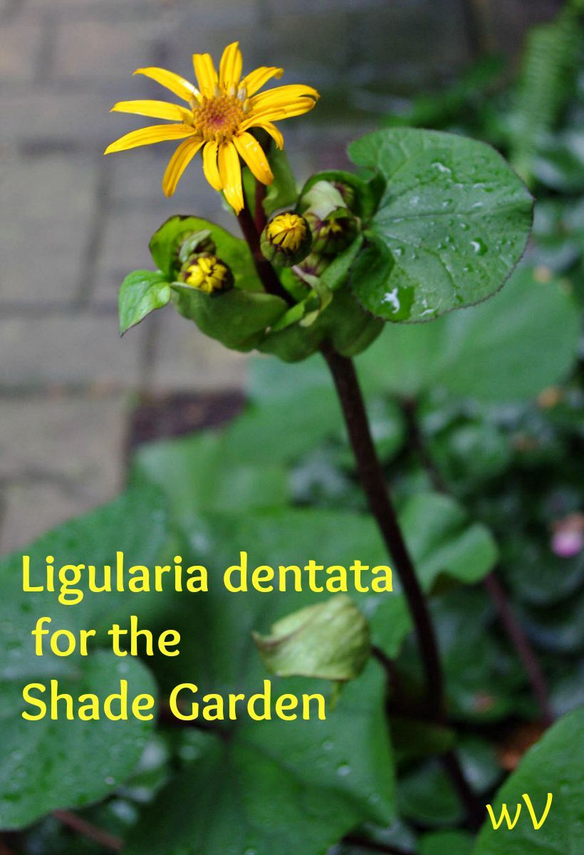 Ligularia Dentata Is A Wonderful Large Leafed Shade Plant That Has A