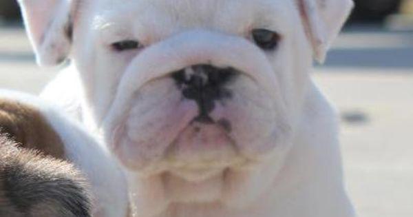 Baggy Bulldogs Dog Breeds Pinterest Bulldogs Baby Bulldogs