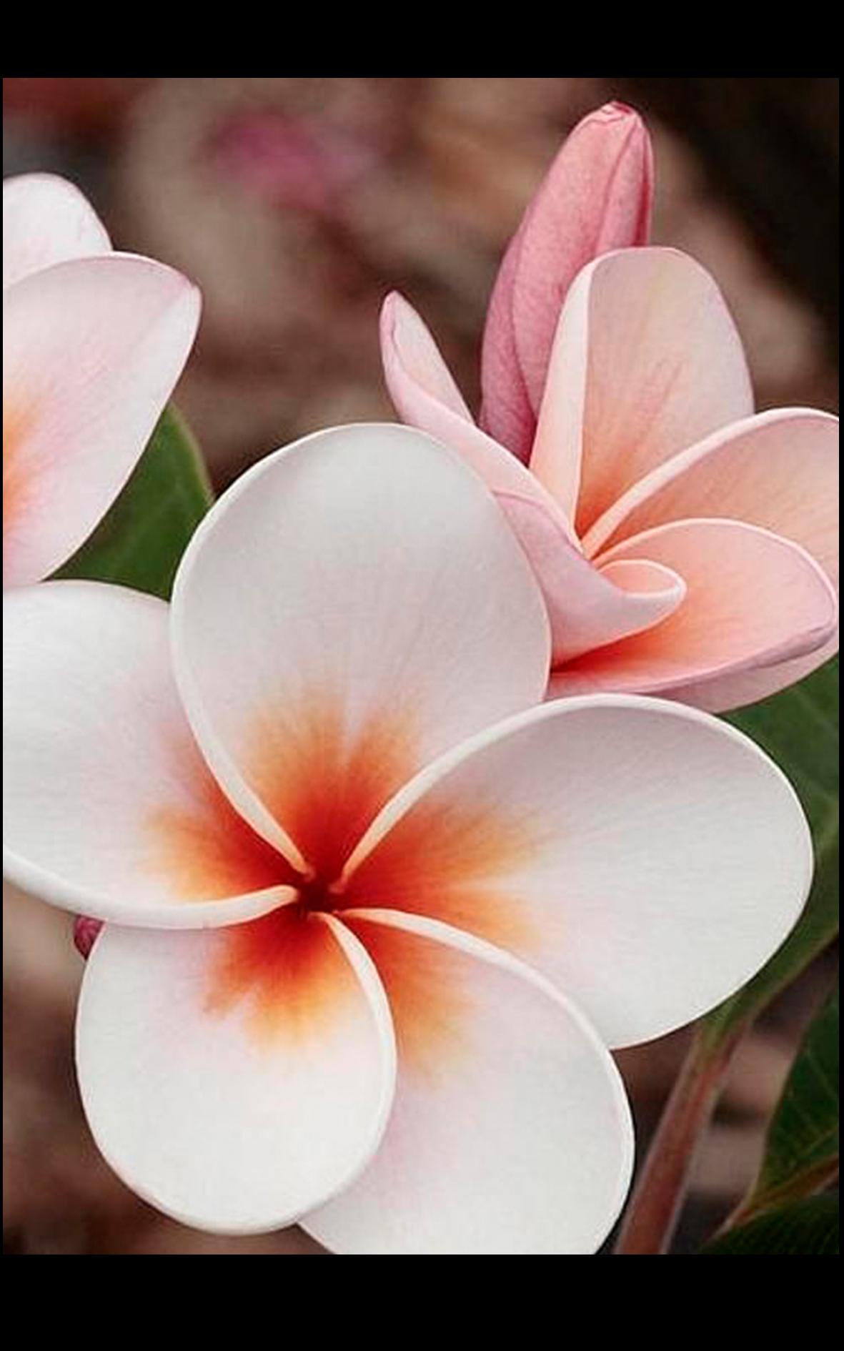 Champa is the national flower of nicaragua and laos champa is the national flower of nicaragua and laos whereflowersbloom izmirmasajfo