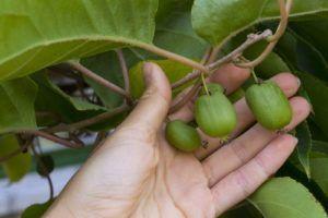 Kiwibeeren schneiden & pflegen: Experten-Tipps - Plantura