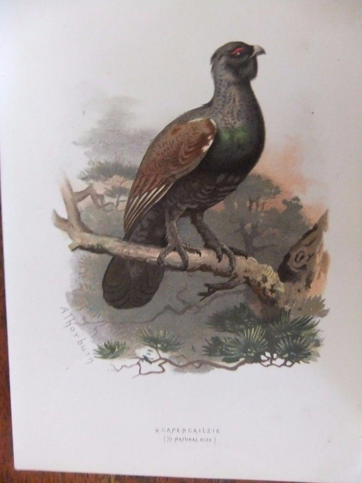 2familar Wild Birds 10 Lithographs C1895 SALE PRISE 8