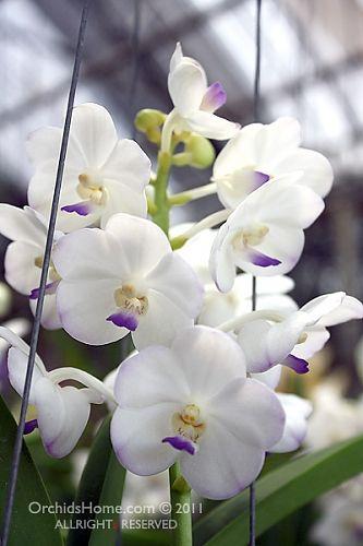 Ascocenda Tubtim Velvet X Rhynchostylis Coelestis Vanda Orchids Orchids Orchid Photo