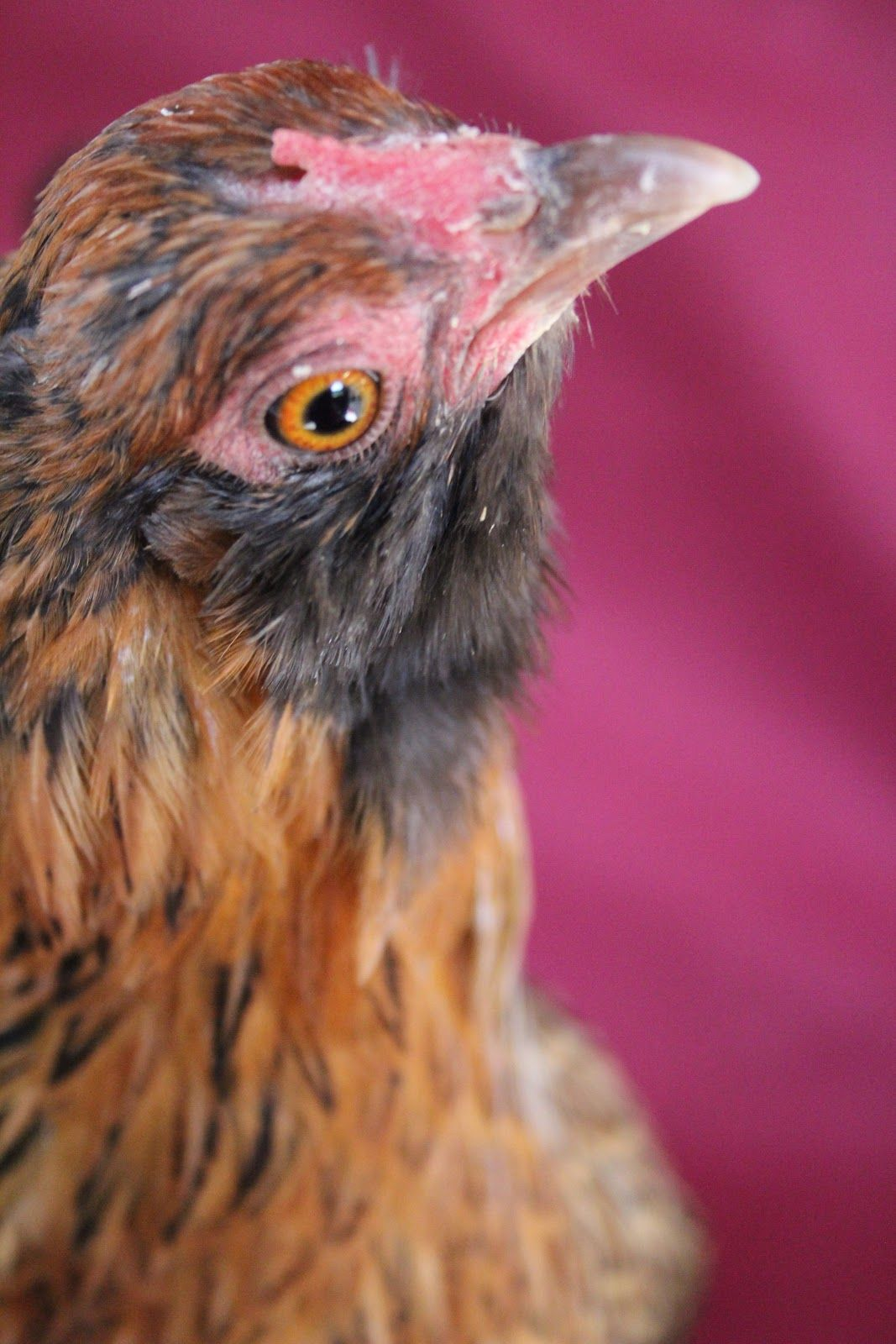 A Chicken A Day | Beautiful chickens, Chicken pictures
