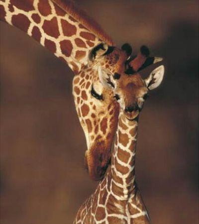 Giraffes... animals are just so amazing!